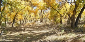 Autumn Cottonwoods in the Bosque